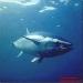 atum-vermelho