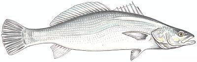 pescada.jpg