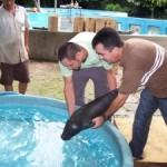 filhote-peixe-boi