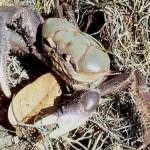 caranguejo uça