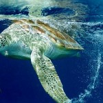 Tartaruga Marinha - Projeto Tamar