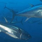 atum-rabilho
