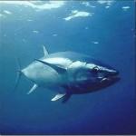 Atum vermelho