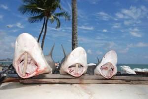 Tubarões Pernambuco