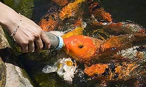 Peixe toma mamadeira no sul do brasil guia da pesca for Carpa comida