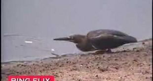 Pássaro usa isca para pescar – ceva